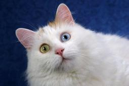 Kedi mırıltısı mışıl mışıl uyutuyor.6076