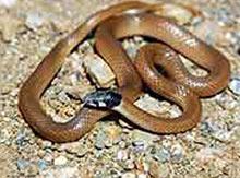 İşte Türk yılanı ''Barani''.15280