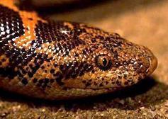 Boğa yılanı sahibini boğdu.12537