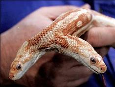 Çift başlı yılan ne yana gider?.12712