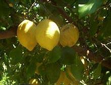 May�s ay�n�n zam �ampiyonu limon.10566