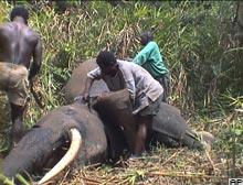 Afrika filleri 9 yıl rahat nefes alacak.15620