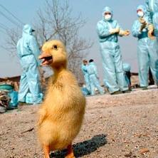 Mısır'da, bir çocukta kuş gribi vakası belirlendi.13009