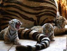 Hayvanat bahçesinde kaplan dehşeti!.9874