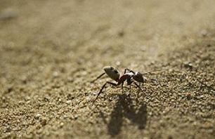 Ölümlere neden olan kenelerin düşmanı karıncalar.14132