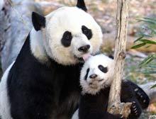Çin'den doğaya bırakacağı pandalara işaret.11149