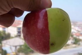 Bir elmada 2 ayrı renk.7253