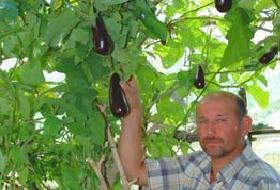 Ağaçta patlıcan yetişti.14811