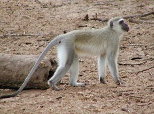 32 denek maymun a��r� s�caktan �ld�.20537