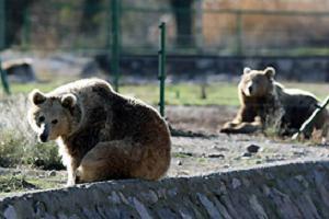 Bu ayılar kış uykusu uyumuyor.13007
