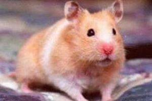 2,5 YTL'ye seri üretim hamster.9456