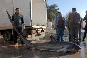 Çanakkale'de 6 metre boyundaki köpekbalığı yakalandı.11723