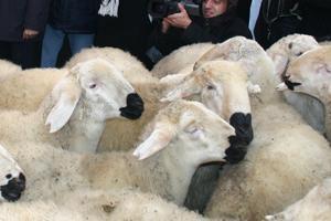 Hakkari'de köylülere bin 200 koyun dağıtıldı.48816