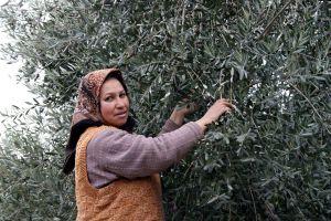 Muğla'da Avrupa standartlarının üzerinde zeytinyağı üretiliyor.45458