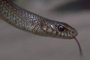 Çanakkale'de köyü yılanlar bastı.6758