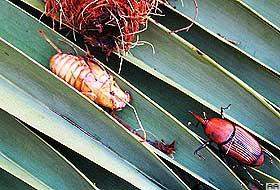 İthal palmiyeler yanlarında böceklerle geldi.17850