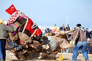 Muğla'daki deve güreşlerinde olaylar çıktı.15771