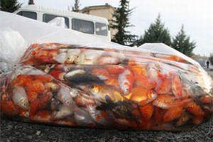 Buda akvaryum balığı kaçakçılığı.14620