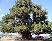 1880 yaşındaki ağaca uzman bakımı.17693