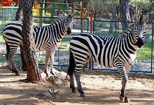 Antalya'nın yeni konukları bir çift zeb.26094