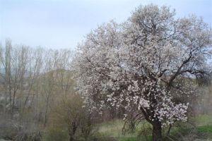 Badem ağaçları 2 ay erken açtı.19545