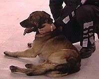 Erdoğan'ın köpeği mızrak hayati tehlikeyi atlattı.9331
