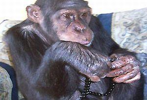 Tespih çekip, paspas yapan maymun.15670