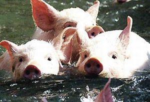 Kayıp geminin sırrı yüzen domuzlarda mı gizli?.18394