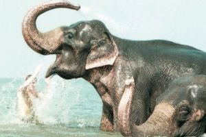 Endonezya'da fil fosili bulundu.13472