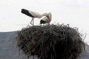 Köylüler leylek yuvalarını onarıyor.12256