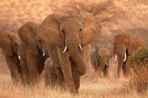 Vahşi fil köy bastı: 4 ölü.12666