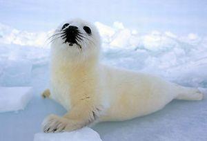 Rusya yavru fok avlamayı yasakladı.7131