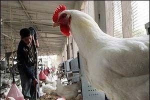 Çin, Türkiye'den kanatlı hayvan ithalini yasakladı.15041