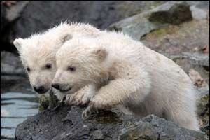 Yavru kutup ayıları gün ışığına çıktı.13150