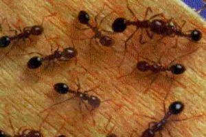 Kırmızı karıncalar ağaçları koruyacak .15178