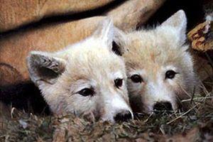 Klonlanmış 2 kurt çiftleştirilecek.15383