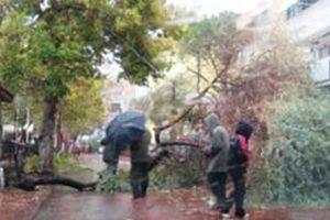 Kocaeli'de kökleri çürüyen tarihi çınar ağaçları kesiliyor.14823