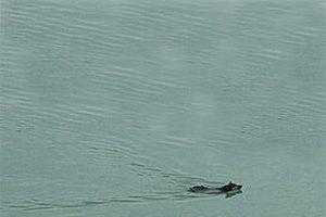 Van Gölü Canavarı tekrar görüldü.7564