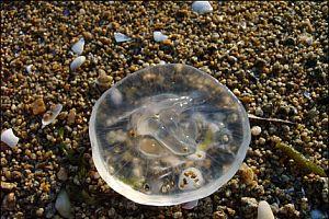 Küçük çocuğu zehirli deniz anası çarptı.27018