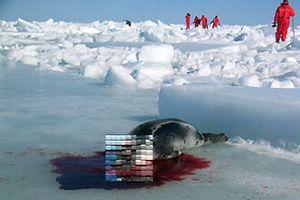 Fok avı deniz savaşına döndü.12066