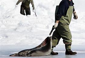Kanada fok avına görüntü yasağı koydu.17911