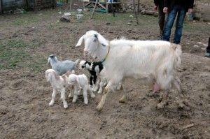 Üniversiteli kız çobanlık yapıyor.17277