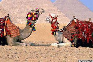 Körfez'de develer 'güzellik' için yarışıcak.18776