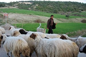 Koyunlar ve çoban vurulmuş halde bulundu.17190
