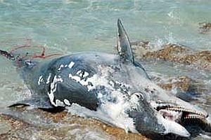 Üç yunus balığı ölü bulundu.17525