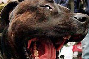 Amerika'da bir kadın, pitbul köpeği ısırarak yaraladı!.14342