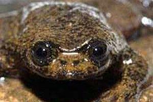 Akciğersiz kurbağa keşfedildi.13919