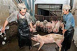 3 ton kaçak domuz eti ele geçirildi.20469