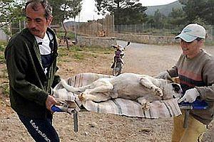 Turistik beldede hayvan katliamı.22302