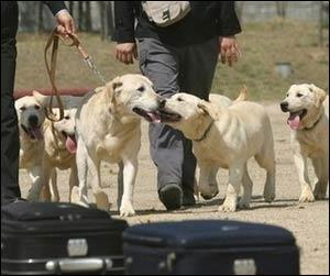 Klonlanmış ilk polis köpekleri kaçakçıların peşinde!.15601